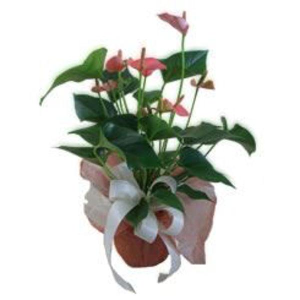 Picture of anthurium