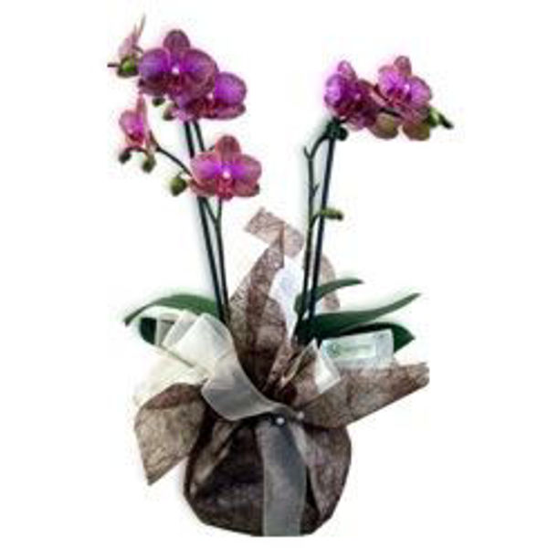 "Picture of phalaenopsis ""terra"""