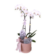 Picture of phalaenopsis em festa