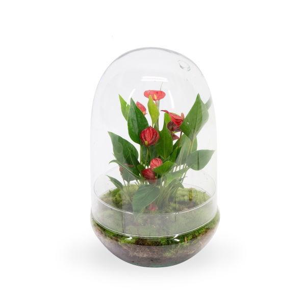 Picture of Anthurium KARMA Million Flowers | Terrarium